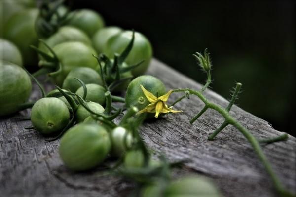 トマトが枯れてしまのはなぜ?トマトが枯れてしまう主な原因5つ