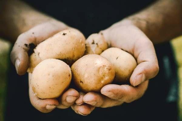 家庭、学校でジャガイモを栽培される方必見!ジャガイモに含まれる2つの毒素