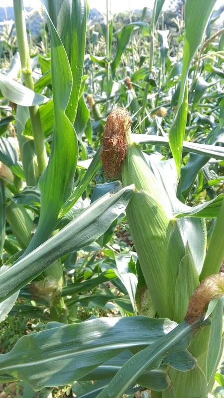 トウモロコシの害虫対策!知っておくべきトウモロコシの害虫6種まとめ