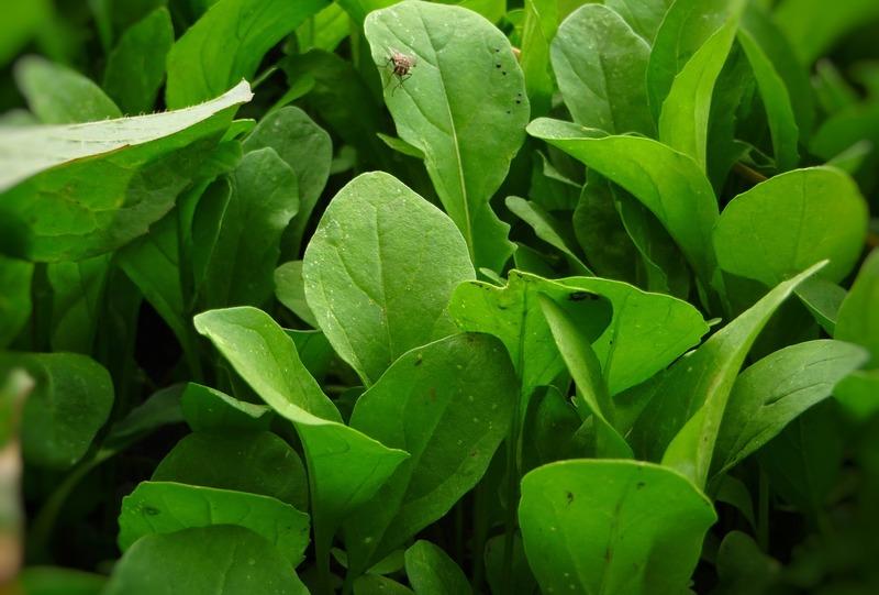 ルッコラを害虫から守る!知っておくべきルッコラの6つの害虫とその対策