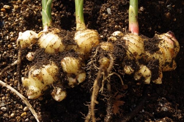 ショウガ栽培の方法!ショウガ栽培の工程をわかりやすく解説!