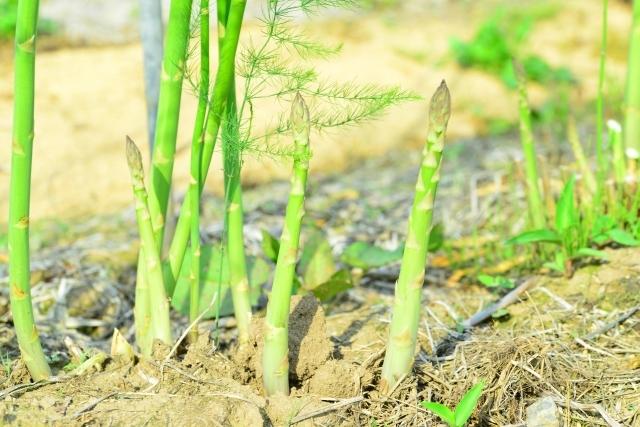 知っておきたいアスパラガスの病気!アスパラガス栽培の病気3つを解説!