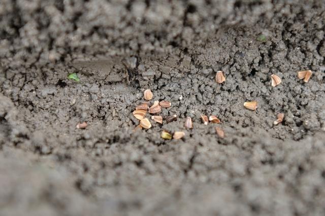 種はどう選ぶ?どう植える?【ベランダ菜園をはじめよう!】
