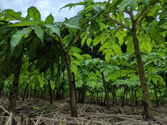 コンニャク栽培の豆知識!コンニャク栽培で知っておきたい3つの病気と2つの害虫