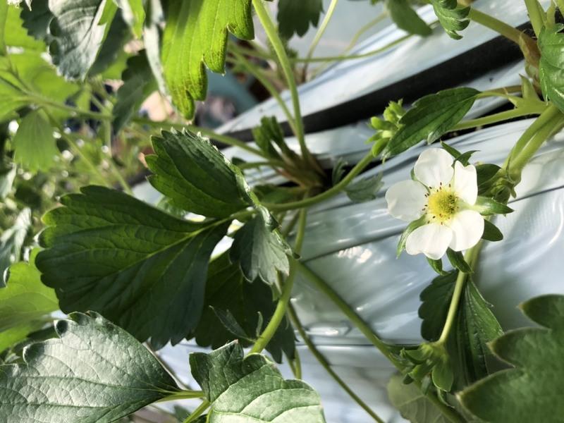 イチゴの病気対策のすべて!イチゴ栽培における主な病気4つまとめ