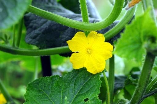 きゅうりの花を咲かせるために!知っておくべき、きゅうりの花の知識