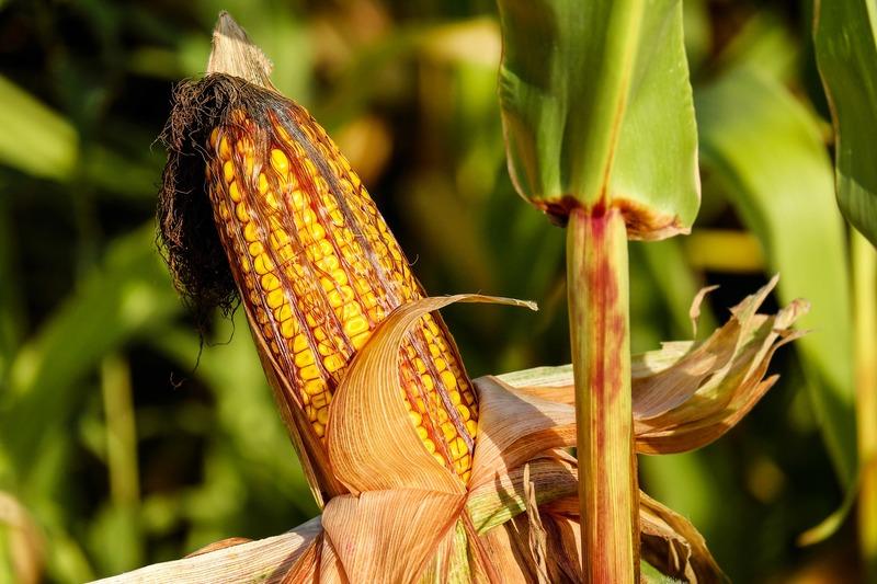 トウモロコシの栽培レシピ 失敗しないトウモロコシの育て方