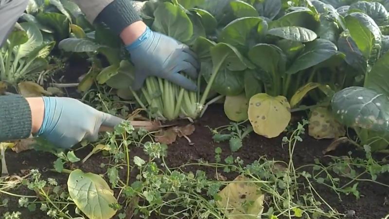 コマツナ栽培の全工程!種まきから収穫までコマツナ栽培のポイント