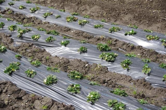 マルチを使い分けて野菜作り!様々なマルチの種類と効果まとめ