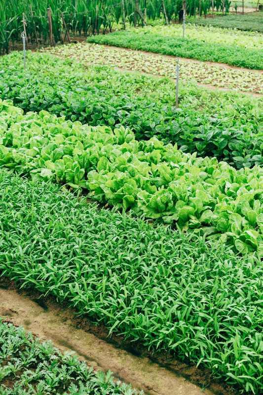 【マメ科編】コンパニオンプランツを取り入れて家庭菜園を充実させよう!効果的なコンパニオンプランツの組み合わせ方