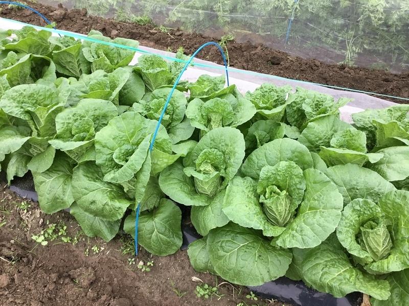 ミニ白菜の育て方!畑の準備から収穫までを徹底解説